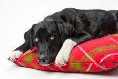 蓝色狗被注视的枕头 免版税图库摄影