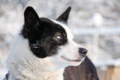 蓝色狗被注视的纵向配置文件雪撬 免版税库存照片