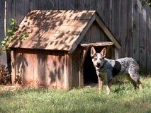 蓝色狗heeler外面他的房子 库存照片