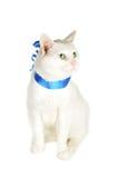 蓝色猫丝带 免版税图库摄影