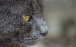 蓝色猫俄语 库存图片