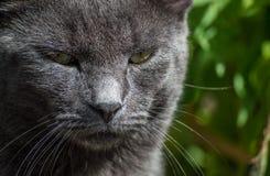 蓝色猫俄语 图库摄影