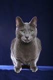 蓝色猫俄语 免版税库存图片