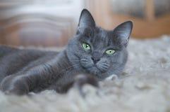 蓝色猫俄语 库存照片