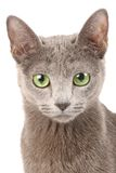蓝色猫俄语 免版税库存照片