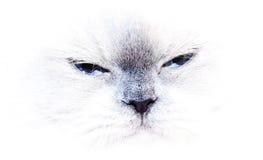 蓝色猫喜马拉雅点 免版税库存照片