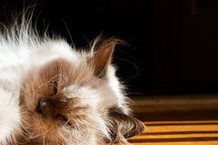 蓝色猫喜马拉雅点 库存照片