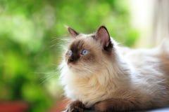 蓝色猫喜马拉雅点 库存图片