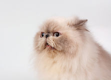 蓝色猫波斯人点 库存照片