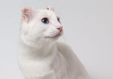 蓝色猫注视白色 库存照片
