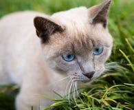 蓝色猫注视 免版税库存照片