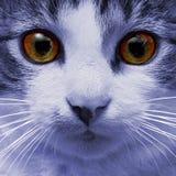 蓝色猫的面孔 免版税库存图片