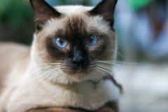 蓝色猫眼睛 免版税库存照片