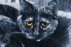 蓝色猫黄色眼睛 免版税图库摄影
