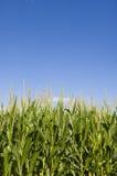 蓝色玉米田天空 库存图片