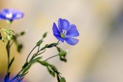 蓝色玉米花 库存图片