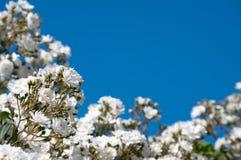 蓝色玫瑰天空白色 库存照片