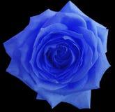 蓝色玫瑰花,染黑与裁减路线的被隔绝的背景 特写镜头 免版税库存照片
