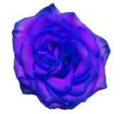 蓝色玫瑰花,白色隔绝了与裁减路线的背景 免版税库存图片