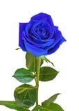 蓝色玫瑰花,绿色叶子,关闭,白色背景,被隔绝 免版税库存照片