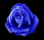 蓝色玫瑰花黑色隔绝了与裁减路线的背景 特写镜头 没有影子 库存图片