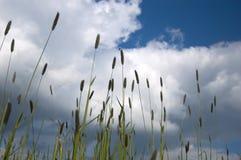 蓝色现出轮廓的天空杂草 库存照片