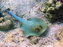 蓝色珊瑚被察觉的黄貂鱼 免版税库存图片