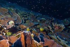 蓝色珊瑚dahab漏洞礁石 库存照片