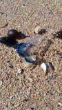 蓝色瓶海生物 库存图片