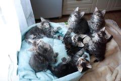 蓝色甜缅因浣熊色的小猫和黑在猫` s蓝色沙发 免版税库存照片