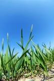 蓝色生长天空麦子 免版税库存图片