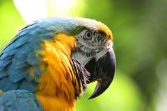 蓝色用羽毛装饰金刚鹦鹉鹦鹉黄色 免版税库存图片