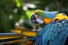 蓝色用羽毛装饰金刚鹦鹉鹦鹉黄色 免版税库存照片