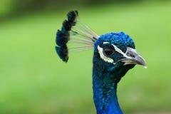 蓝色男性孔雀& x28; 印地安人Pefowl,孔雀座Cristatus 免版税图库摄影