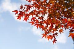 蓝色留下槭树天空 免版税库存图片