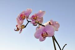 蓝色的兰花粉红色天空 免版税库存照片