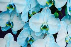 蓝色的兰花 库存图片