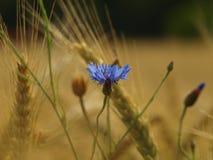 蓝色的矢车菊,成熟玉米在背景中 免版税库存图片