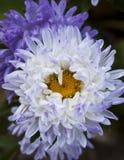 蓝色的翠菊 免版税库存图片