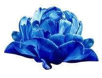 蓝色的郁金香 在白色的花隔绝了与裁减路线的背景 特写镜头 没有影子 图库摄影