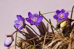 蓝色的银莲花属 免版税库存照片