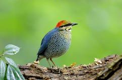蓝色皮塔Hydrornis cyaneus 免版税库存图片