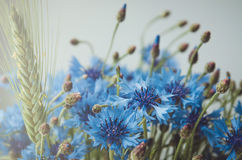 蓝色矢车菊夏天墙纸,绿色角宿开花与bokeh和拷贝空间,花卉抽象背景 免版税库存照片