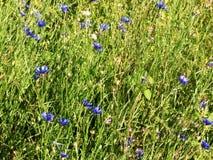 蓝色矢车菊领域 库存照片