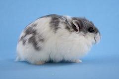 蓝色矮小的仓鼠察觉了 免版税库存照片