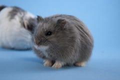 蓝色矮小的仓鼠 库存照片