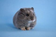 蓝色矮小的仓鼠 免版税库存照片