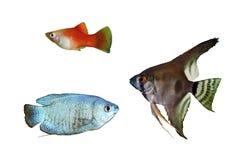 蓝色矮小的吻口鱼、红色新月鱼和神仙鱼pterophyllum scalare 免版税库存照片