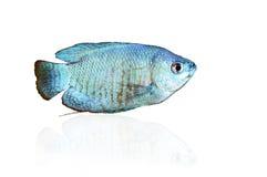 蓝色矮小的吻口鱼 免版税库存照片