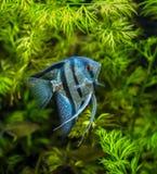蓝色神仙鱼 图库摄影